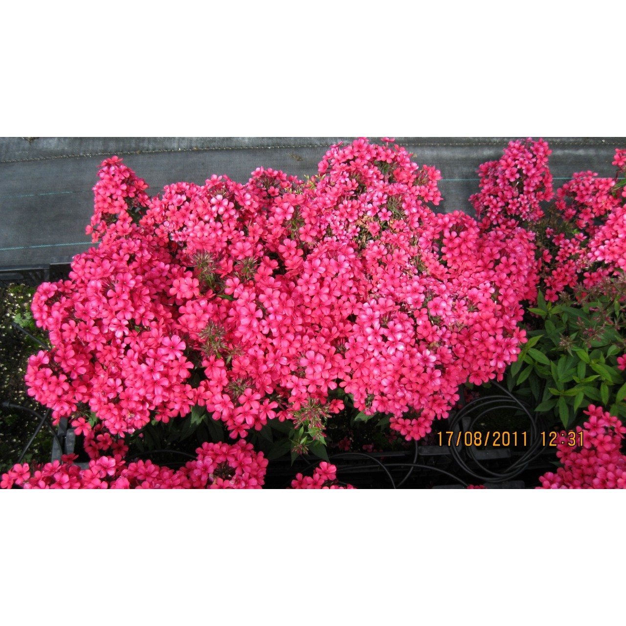 Phlox Early®Red